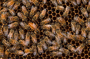 European honey bees (Apis mellifera) tending the queen, one licking her to take up her odour, which will spread through the colony via food exchange, such as in the bottom right corner of the image. A...  -  MD Kern / Palo Alto JR Museum