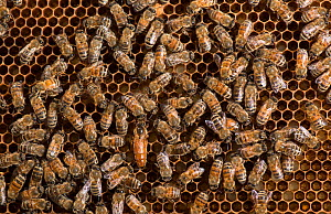 European honey bees (Apis mellifera) tending the queen, with one feeding her  -  MD Kern / Palo Alto JR Museum