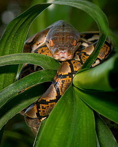Reticulated Python (Malayopython reticulatus) captive, occurs in South East Asia.  -  Michael  D. Kern