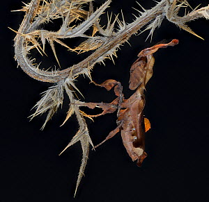 Ghost Mantis (Phyllocrania paradoxa) female, captive, occurs in Africa.  -  Michael  D. Kern