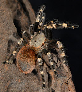 White Striped Birdeater Tarantula (Nhandu chromatus) captive, endemic to Brazil.  -  Michael  D. Kern