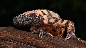 Gila Monster (Heloderma suspectum) captive, native to southwestern USA and Sonora, Mexico.  -  Michael  D. Kern
