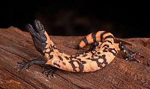 Gila Monster (Heloderma suspectum) with mouth open, captive, native to southwestern USA and Sonora, Mexico.  -  Michael  D. Kern