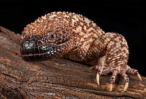 Mexican Beaded Lizard (Heloderma horridum) captive, occurs in Mexico and Guatemala. Venomous species  -  Michael  D. Kern