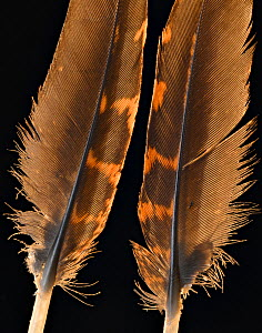 Temminck's tragopan (Tragopan temminckii) pheasnt feathers against black background. - Michael  D. Kern