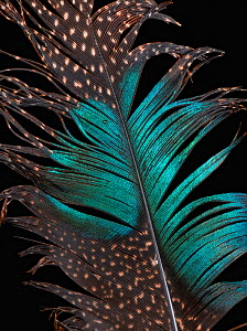 Mountain peacock-pheasant (Polyplectron inopinatum) feather against black background.  -  Michael  D. Kern