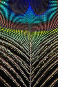 Indian Peacock (Pavo cristatus) tail feather against black background.  -  Michael  D. Kern