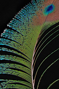 Indian Peacock (Pavo cristatus) feather against black background.  -  Michael  D. Kern