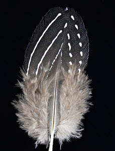 Vulturine Guineafowl (Acryllium vulturinum) feather against black background. - Michael  D. Kern