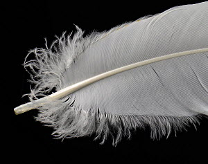 Grey crowned crane (Balearica regulorum) feather against black background.  -  Michael  D. Kern