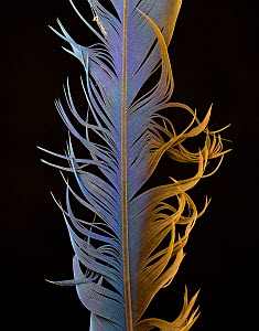 Blue-and-yellow Macaw (Ara ararauna)  feather against black background.  -  Michael  D. Kern