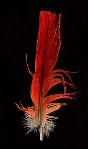 Congo African Grey Parrot (Psittacus erithacus) tail feather against black background. - Michael  D. Kern