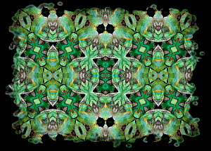 Kaleidoscope pattern formed from picture of Veiled Chameleon (Chamaeleo calyptratus) scales and face. Restricted for Editorial use until December 2015  -  Michael  D. Kern
