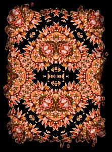 Kaleidoscope pattern formed from picture of Spiny Flower Mantis (Pseudocreobotra wahlbergii), pink form. Restricted for Editorial use until December 2015  -  Michael  D. Kern