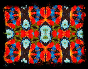 Kaleidoscope pattern formed from picture of Scarlet-chested parrot (Neophema splendida) plumage. Restricted for Editorial use until December 2015  -  Michael  D. Kern