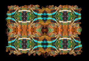 Kaleidoscope pattern formed from picture of Panther Chameleon (Furcifer pardalis) scales. Restricted for Editorial use until December 2015 - Michael  D. Kern