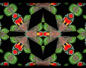 Kaleidoscope pattern formed from picture of Moustache Parakeet (Psittacula alexandri) plumage. Restricted for Editorial use until December 2015  -  Michael  D. Kern