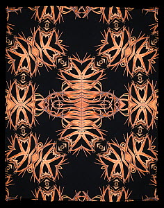 Kaleidoscope pattern formed from picture of East African Crown Crane (Balearica regulorum) feathers. EMBARGOED FOR NAT GEO UNTIL the end of 2015  -  Michael  D. Kern