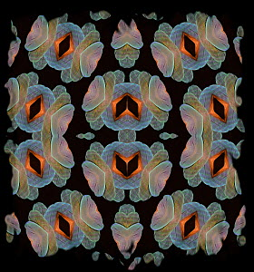 Kaleidoscope pattern formed from picture of Catalina Macaw feathers, hybrid of Blue-and-yellow Macaw x Scarlet Macaw. EMBARGOED FOR NAT GEO UNTIL the end of 2015  -  Michael  D. Kern