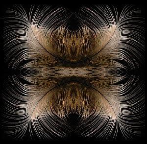Kaleidoscope pattern formed from picture of Blue crown pigeon (Goura) feathers. EMBARGOED FOR NAT GEO UNTIL the end of 2015  -  Michael  D. Kern