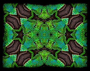 Kaleidoscope pattern formed from picture of head and legs of Abbot's Angle Headed Lizard (Gonocephalus doriae). EMBARGOED FOR NAT GEO UNTIL the end of 2015  -  Michael  D. Kern