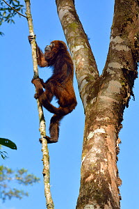 Northern Brown Howler monkey (Alouatta guariba guariba), climbing branch, lowland Atlantic Rainforest of Southern Bahia, Southern Bahia State, Eastern Brazil. - Luiz Claudio Marigo