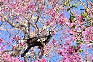 Blue throated piping guan (Pipile pipile) perched in flowering  Pink Ipe tree (Tabebuia ipe / Handroanthus impetiginosus)  Pantanal, Mato Grosso State, Western Brazil. Critically endangered species. - Luiz Claudio Marigo