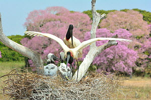 Jabiru (Jabiru mycteria) stork parents at nest with chicks with Pink Ipe tree (Tabebuia ipe / Handroanthus impetiginosus) in flower in background, Pantanal, Mato Grosso State, Western Brazil.  -  Luiz Claudio Marigo