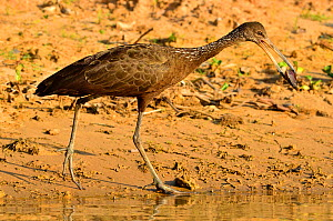 Limpkin (Aramus guarauna) catching a snail to eat it on the shore of Pixaim River, Pantanal of Mato Grosso, Mato Grosso State, Western Brazil.  -  Luiz Claudio Marigo