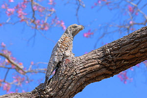 Great Potoo (Nyctibius grandis) perched and camouflaged on a Pink Ipe Tree (Tabebuia ipe)Pantanal, Mato Grosso State, Western Brazil. - Luiz Claudio Marigo