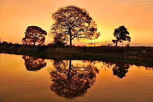 Pink Ipe tree (Tabebuia ipe / Handroanthus impetiginosus) silhouetted at sunset and reflected in waters of the pantanal, Pantanal, Mato Grosso State, Western Brazil. - Luiz Claudio Marigo