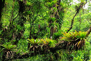 Montane Atlantic Rainforest with Bromeliads (Vriesea) at Serra do Mar mountains, Bananal, Sao Paulo State, Southeastern Brazil - Luiz Claudio Marigo