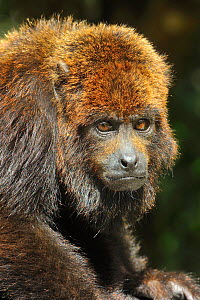 Northern Brown Howling monkey (Alouatta guariba guariba) portrait, Atlantic Rainforest of Southern Bahia State, Eastern Brazil. - Luiz Claudio Marigo