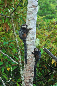 Wied's Black-tufted-ear Marmoset (Callithrix kuhlii) climbing tree, in montane Atlantic Rainforest of Serra Bonita Private Natural Heritage (RPPN Serra Bonita), Camacan, Southern Bahia State, Eastern... - Luiz Claudio Marigo