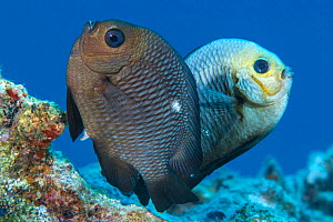 Spawning pair of Domino damselfish (Dascyllus trimaculatus) The female is in the foreground, her ovipositor clearly visible. The male is behind with head almost white during the spawning. He will guar...  -  Alex Mustard
