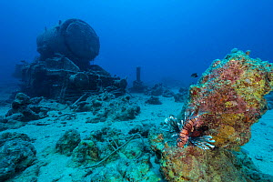 Lionfish (Pterois volitans) sheltering on coral outcrop close to one of Stanier 8F locomotives that was part of cargo of Thistlegorm and now rests nearby on the seabed. Sha'ab Ali, Sinai, Egypt. Red S...  -  Alex Mustard