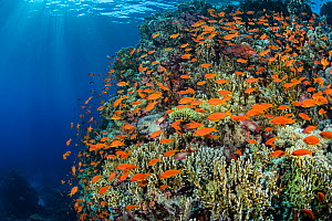 Scalefin Anthias (Pseudanthias squamipinnis) swarm over coral reef, with Fire coral (Millepora dichotoma) in the Red Sea in the morning. Yolanda Reef, Ras Mohammed Marine Park, Sinai, Egypt. Gulf of A... - Alex Mustard