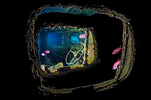 View of steering wheel inside Bedford OYC water tanker 3 ton lorry, from another Bedford OYC truck, deep inside hold of wreck of HMS Thistlegorm. Fish are Red Sea soldierfish (Myripristis murdjan) Sha...  -  Alex Mustard