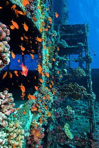 Scalefin anthias (Pseudanthias squamipinnis) on the superstructure of Giannis D wreck. Abu Nuhas, Egypt. Strait of Gubal, Gulf of Suez, Red Sea. - Alex Mustard