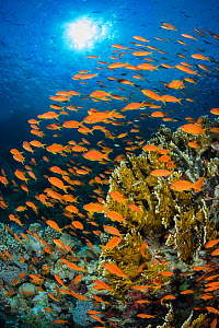 Vibrant Red Sea reef scene, with orange female Scalefin anthias (Pseudanthias squamipinnis) swarming in front of Fire coral (Millepora dichotoma) feeding on plankton brought to the reef by currents. R...  -  Alex  Mustard