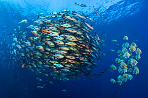 Large school of Bohar snappers (Lutjanus bohar) gather with smaller shoal of Batfish (Platax orbicularis) in open water off Ras Mohammed at the tip of Sinai, Egypt. These schools gather only in summer... - Alex  Mustard