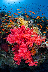 RF- Colourful scene on coral reef, with soft coral (Scleronephthya corymbosa) and Scalefin anthias (Pseudanthias squamipinnis). Jackson Reef, Strait of Tiran, Sinai, Egypt. Gulf of Aqaba, Red Sea. (Th...  -  Alex Mustard