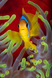 Red Sea anemonefish (Amphiprion bicinctus) in front of magnificent sea anemone. Anemone City, Ras Mohammed Marine Park, Sinai, Egypt. Gulf of Aqaba, Red Sea. - Alex Mustard