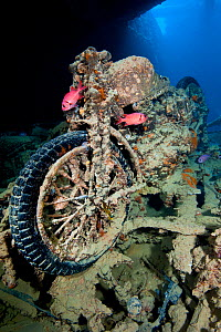 British World War II BSA M20 motorbike inside Hold 2 of wreck of HMS Thistlegorm, home to pair of Red Sea soldierfish (Myripristis murdjan) and nudibranch (Nembrotha megalocera) in the centre of front... - Alex Mustard