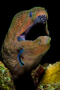 Giant moray (Gymnothorax javanicus) emerges from crack in coral reef and is cleaned by cleaner wrasse (Labroides dimidiatus) Ras Mohammed Marine Park, Sinai, Egypt. Red Sea.  -  Alex Mustard
