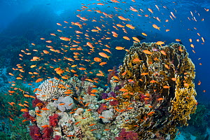 Busy coral reef community feeding on plankton, with Scalefin anthias (Pseudanthias squamipinnis), Soft corals (Dendronephthya sp.) and Fire corals (Millepora dichotoma) Ras Mohammed Marine Park, Sinai... - Alex Mustard