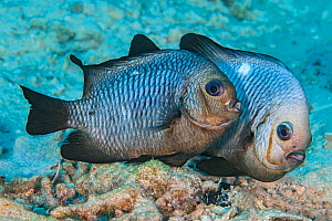Spawning pair of Domino damselfish (Dascyllus trimaculatus) The female is in front, the male is behind and his head has gone almost white during the spawning. He will guard the eggs until they hatch....  -  Alex Mustard