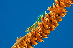 Wire coral goby (Bryaninops youngei) on Yellow wire coral (Cirripathes anguina) The Alternatives, Sha'ab Mahmood, Sinai, Egypt. Red Sea.  -  Alex Mustard