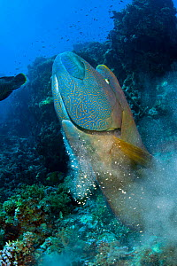 Large, male Napoleon wrasse (Cheilinus undulatus) demolishes the nest of Titan triggerfish (Balistoides viridescens) eating its large clutch of eggs. Shark Reef, Ras Mohammed Marine Park, Sinai, Egypt...  -  Alex  Mustard