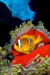Red Sea anemonefish (Amphiprion bicinctus) in Magnificent sea anemone (Heteractis magnifica), which has closed up in the late afternoon, on coral reef under stormy seas. St Johns Reef. Egypt. Red Sea.  -  Alex Mustard
